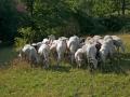 pecore_di_zeri