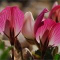 Ononis cristata subsp. apennina