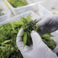 Laboratorio-cannabis-terapeutica3