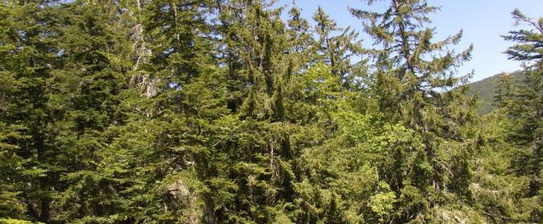 foresta abetone