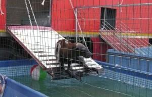 foca circo