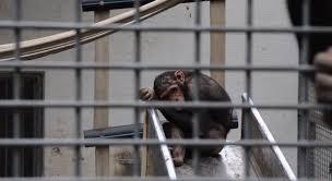 scimpanze in gabbia
