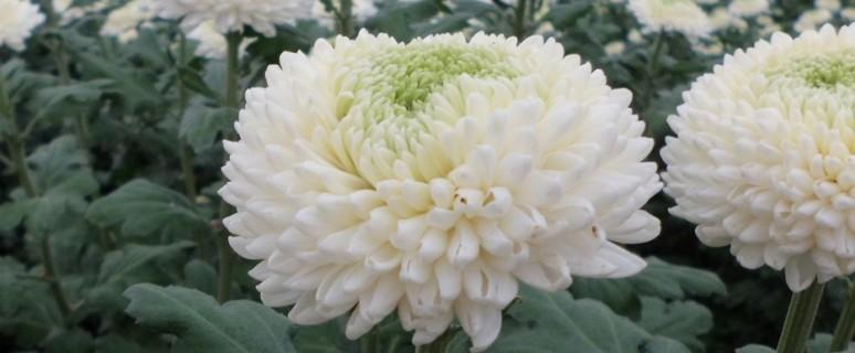 crisantemo - coldiretti