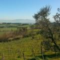 olivi e viti
