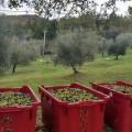 """Olivicoltura """"made in Tuscany"""""""
