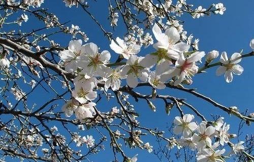 mandorlo in fiore
