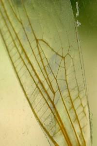 ala di libellula, 2007