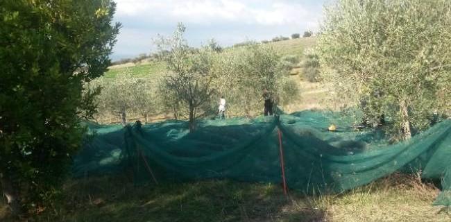 olivete