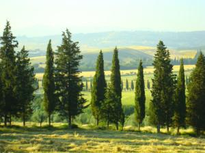 bibbona-cipressi
