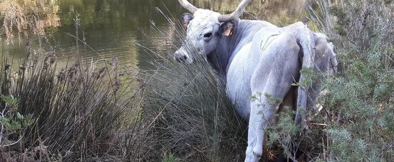 mucca-maremmana