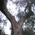 vecchio-olivo