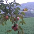 agricoltura frutta mele