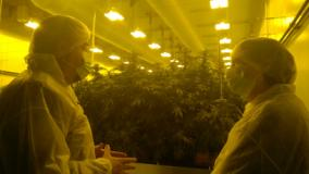 cannabis e saccardi