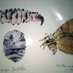 Larva, pupa, farfalla, 2017. Tempera acrilica su carta.