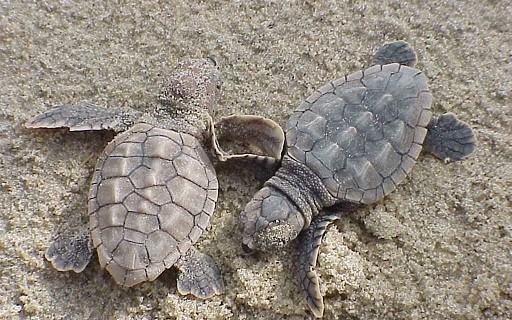 tartarughe marine baby