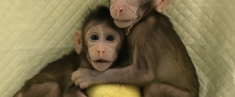 Clonazione scimmie