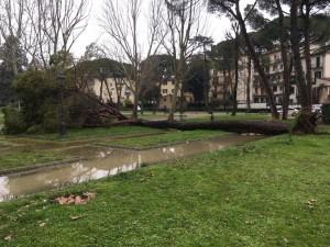 pino caduto