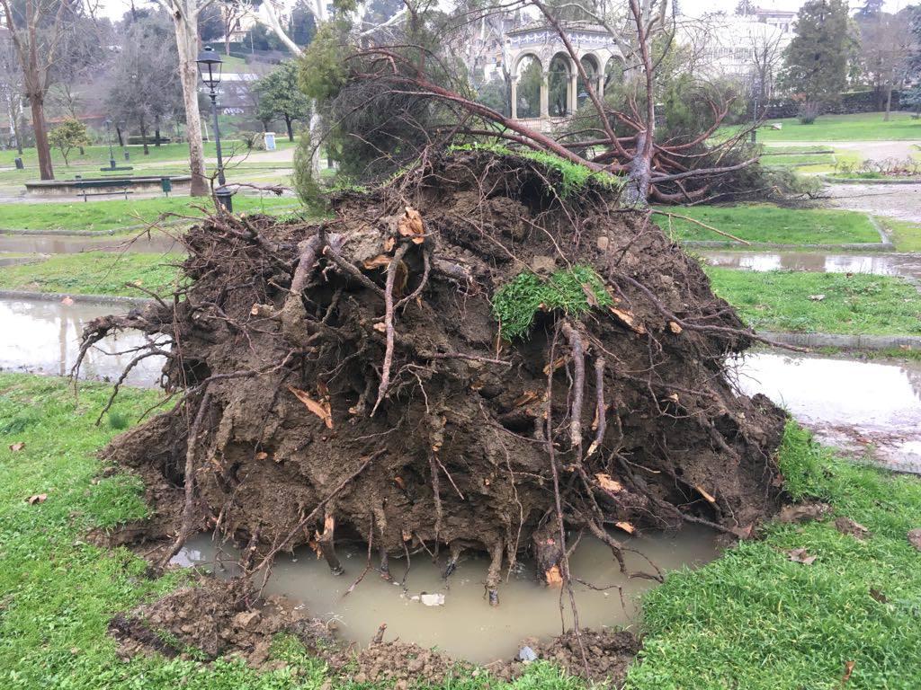 pino caduto radici