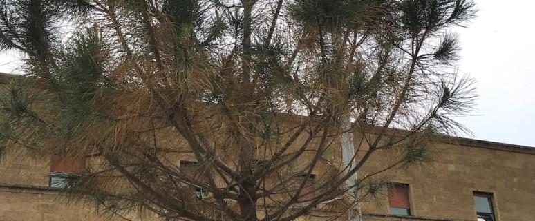 giovani pini seccano