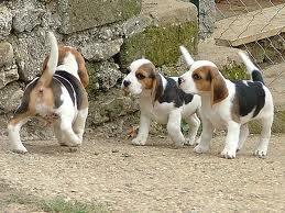 cuccioli_di_beagle.jpg