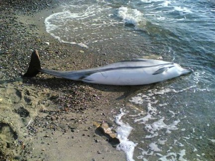 delfino-spiaggiato-1-432x323.jpg