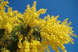 mimosa2.png