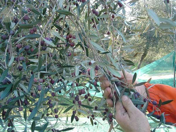 raccolta-olive.jpg