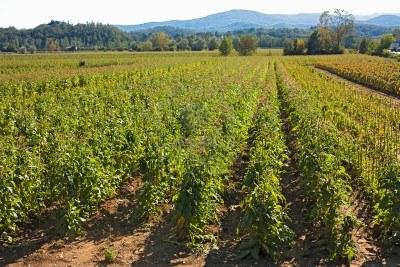 tabacco-coltivazione-italiana-colline-della-toscana.jpg